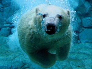 安卓萌宠 极地动物 北极熊手机壁纸