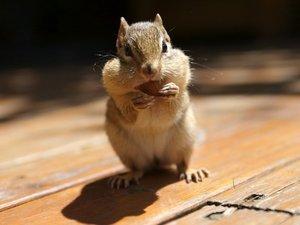 安卓花栗鼠 动物 可爱 摄影手机壁纸